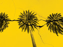 palm trees on cracked yellow background